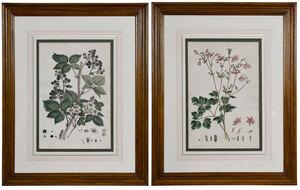 Two Botanical Engravings